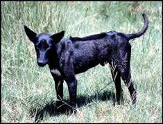 A mouse-grey, ridged and prick-eared dog in   KwaZulu-Natal. Photo Johan Gallant (1995)